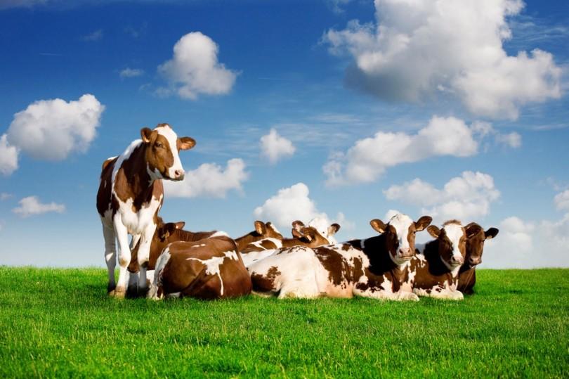 romapada swami on why one should drink cow's milk?